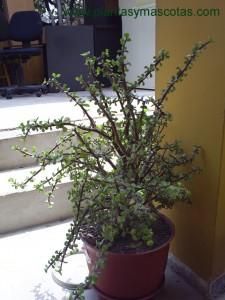 Arbusto japonés (Portulacaria afra)