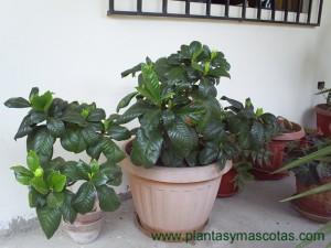Gardenia augusta (Gardenia jasminoides)