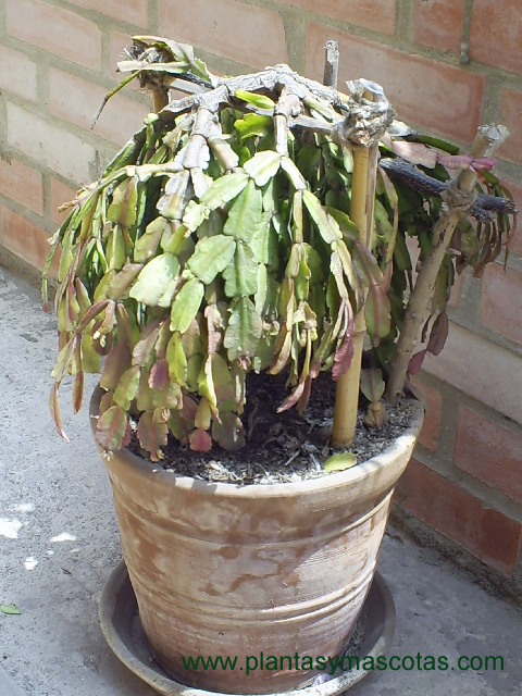 Cactus de navidad schlumbergera truncata plantas y for Nombres de cactus