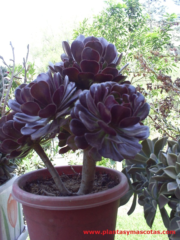 rosa negra  aeonium arboreum  u0026quot zwartkop u0026quot