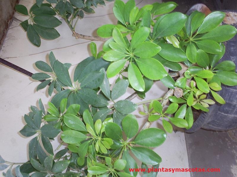 Chiflera cheflera schefflera arboricola plantas y for Plantas interior fotos y nombres
