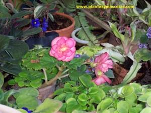 Violeta africana (Saintpaulia ionantha)
