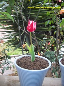 Tulipán (Tulipa Darwin)