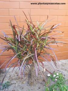 Croton (Codiaeum variegatum)