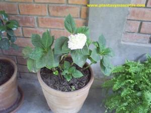 Hortencia (Hydrangea macrophylla)