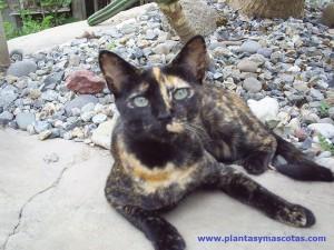 Gato (Felis silvestris)