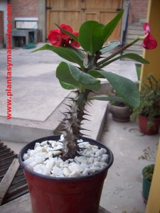 Corona de espinas (Euphorbia milii)