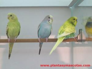 Periquitos Autralianos (Melopsittacus undulatus)