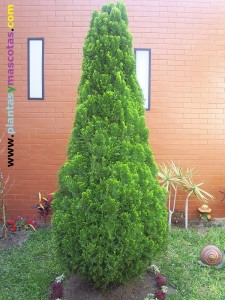 Thuja dorada (Thuja orientalis)