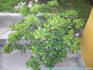 Planta de Jade (Crassula ovata) con flores