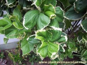 Acalifa (Acalypha wilkesiana 'Hoffmannii')