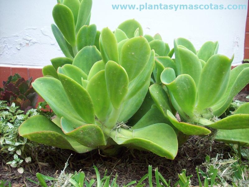 Echeveria Pallida Plantas Y Mascotas