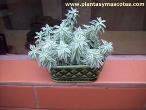 Sedum alfombra (Sedum lineare variegatum)