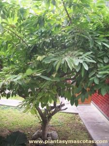 Árbol de chirimoya (Annona cherimola)