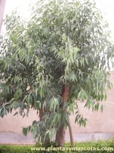 Eucalipto blanco (Eucalyptus globulus)