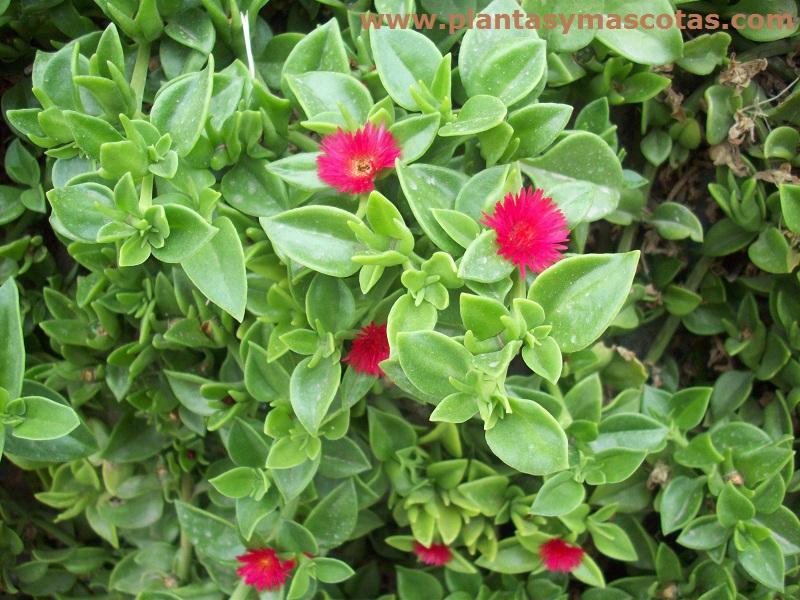 Aptenia (Aptenia cordifolia) | Plantas y Mascotas