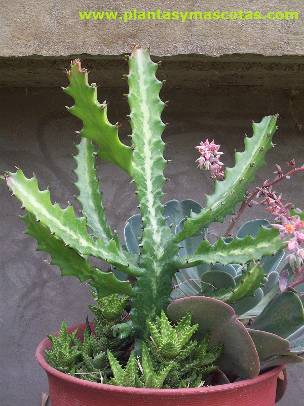 Lanta candelabro euphorbia lactea plantas y mascotas for Nombres de cactus
