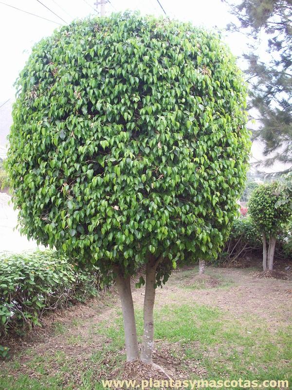Ficus benjamina plantas y mascotas for Arboles con sus nombres y caracteristicas