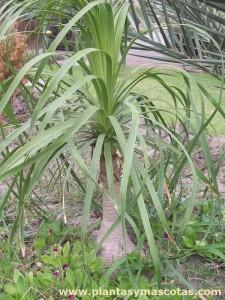 Palma Ponytail (Beaucarnea recurvata)