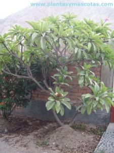 Frangipani (Plumeria rubra)