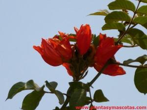 Tulipán africano (Spathodea campanulata) - Flores