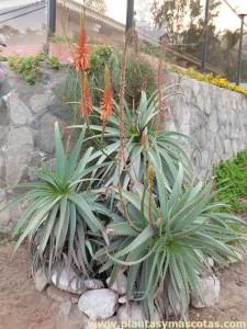 Planta pulpo (Aloe arborescens)