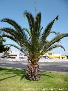 Palma Canaria o Palmera Canaria (Phoenix canariensis)