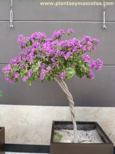 Buganvilla (Bougainvillea spp)