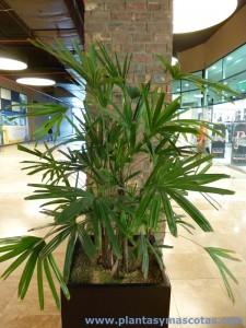 Palma bambú (Rhapis excelsa)