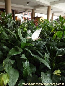 Espatifilo (Spathiphyllum wallisii)