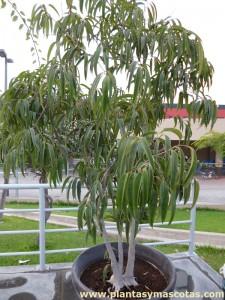 Ficus Ali (Ficus binnendijkii 'Alii')