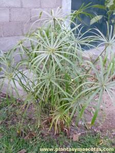 Planta Paraguas (Cyperus alternifolius)