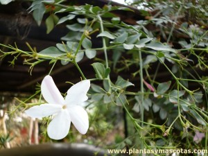 Jazmín blanco (Jasminum officinale)