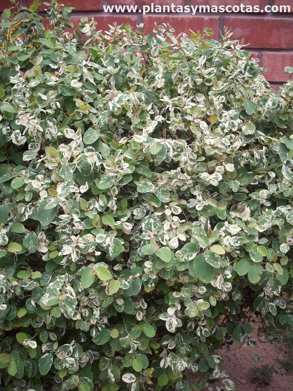 Breina o brenia blanca breynia disticha nana plantas for Planta ornamental blanca nieves