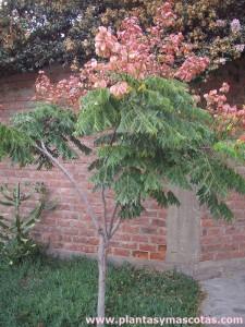 Árbol de los farolillos (Koelreuteria bipinnata)