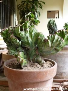 "Euphorbia cristata (Euphorbia lactea ""cristata"")"