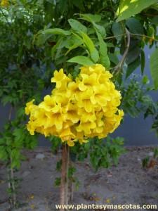 Bignonia amarilla (Tecoma stans) - Flor