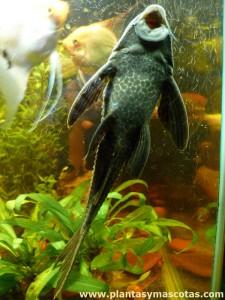 Pleco (Hypostomus plecostomus) pegado al vidrio