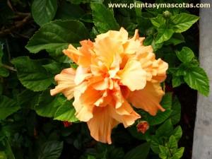 Flor doble de Hibisco o Cucarda (Hibiscus rosa-sinensis)