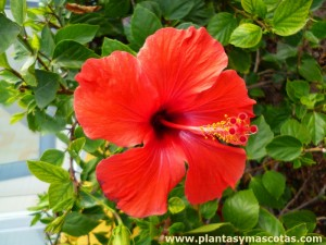 Hibisco o Cucarda (Hibiscus rosa-sinensis)