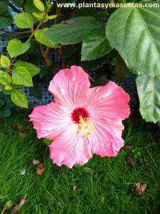 Flor rosada de Hibisco o Cucarda (Hibiscus rosa-sinensis)