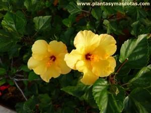 Flor amarilla de Hibisco o Cucarda (Hibiscus rosa-sinensis)