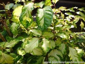 "Aralia guilfoylei, Aralia cortina (Polyscias guilfoylei ""variegata"")"