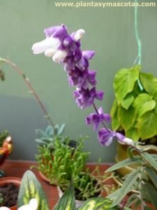 Salvia morada (Salvia leucantha) - Flor