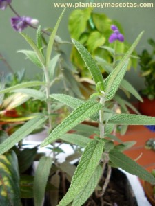 Salvia morada (Salvia leucantha)