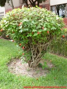 Malvavisco, Falso hibisco (Malvaviscus arboreus)