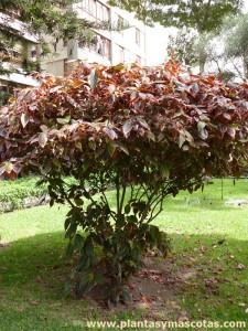 Acalifa Picta (Acalypha godseffiana)