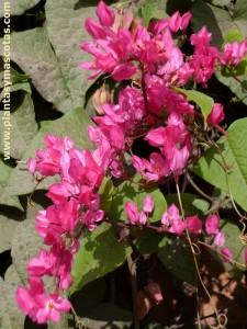 Bellísima (Antigonon leptopus) - Flores