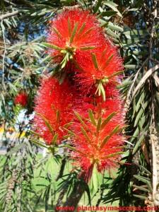 Escobillón de botella (Callistemon viminalis) - Flor