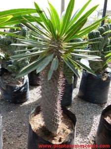 Palmera de Madagascar, Pachipodio (Pachypodium lamerei)